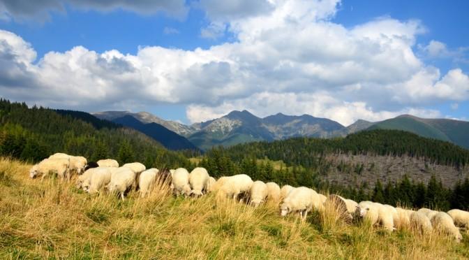 50. ...i stadem owiec na górskiej łące.