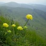 23. …i pełniki europejskie o kwiatach pełnych jak piwonie