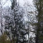 51. …gdzie owocowała wierzba pięciopręcikowa…