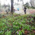 7. W lesie kwitły już żywce gruczołowate.